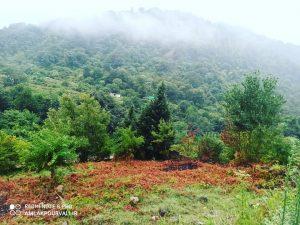 زمین پای جنگل در بندپی نوشهر